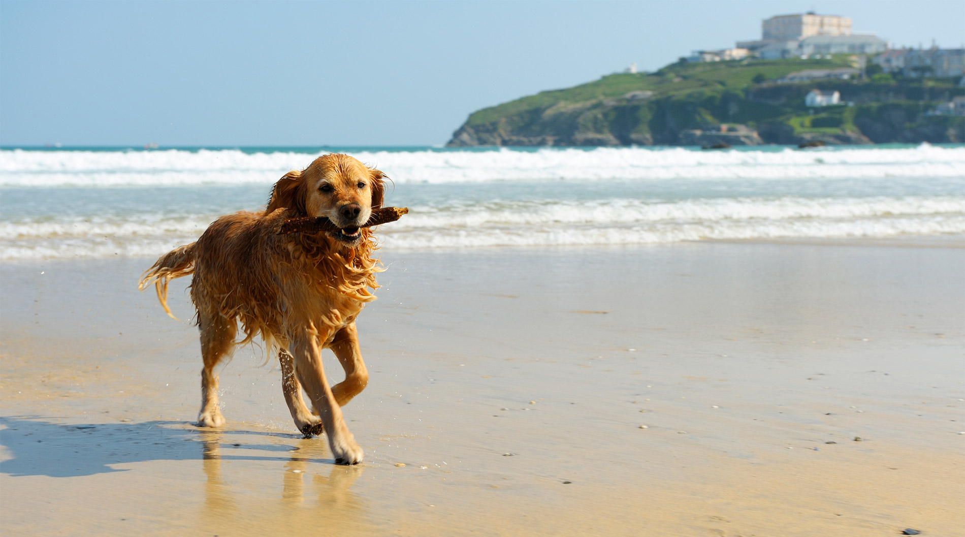 A young golden retriever with a piece of wood in his mouth running on the beach. Location: Newquay, Cornwall, UK.